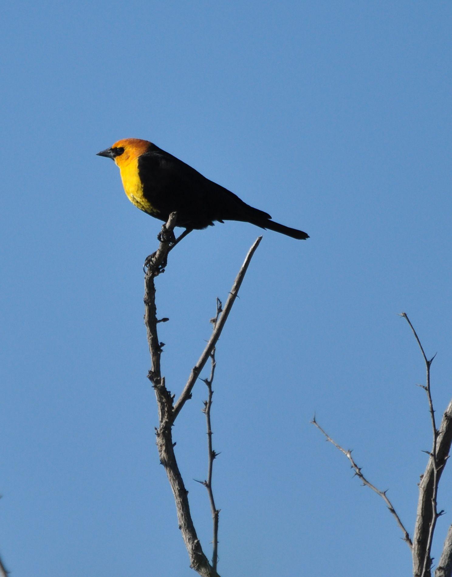 Yellowheaded Blackbird; Mitchell Lake Audubon Center, San