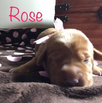 Litter of 8 Labrador Retriever puppies for sale in APPLETON