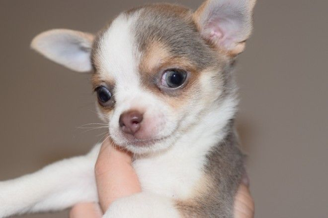 Kc Lilac Tan And White And Blue Fawn Females Blue Chihuahua