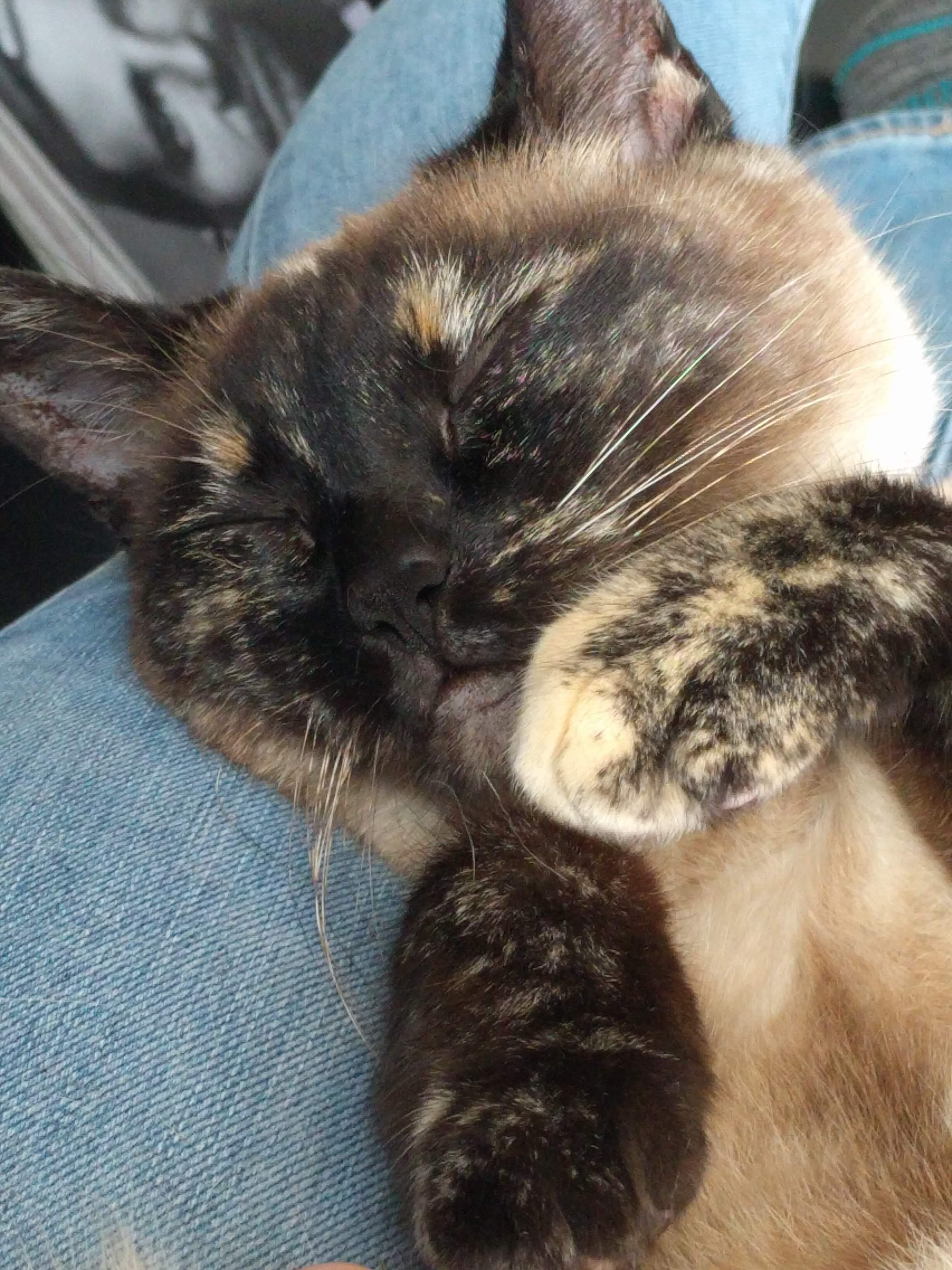My Cat Loves Snoozing On Anybody S Lap Cat Hug Cat Noises Baby Cats