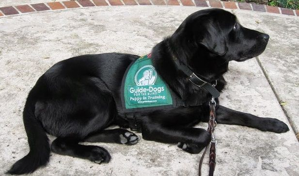 Pierre Male Black Labrador Is A Puppy In Training For Guide Dogs