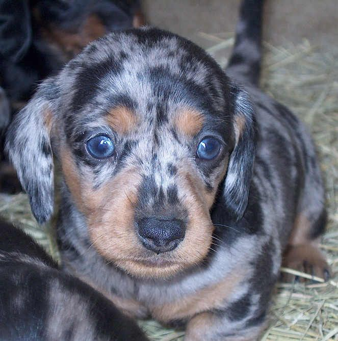 Pin By Ohana Photographers On Must Love Dogs Dapple Dachshund