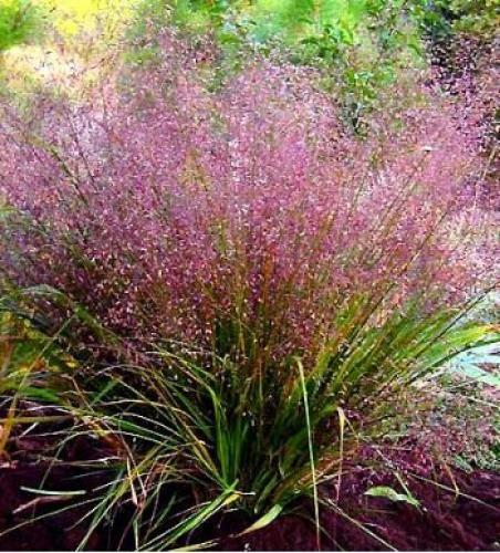 eragrostis spectabilis fleurs plante jardin gramin es. Black Bedroom Furniture Sets. Home Design Ideas
