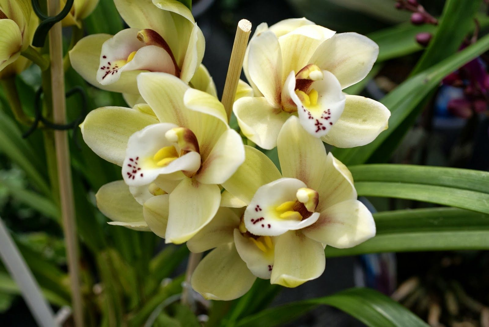 403 Forbidden Rare Orchids Cattleya Orchid Orchid Varieties