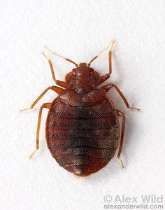 A Plague Of Bed Bugs Alex Wild Bed Bug Extermination Bed Bug