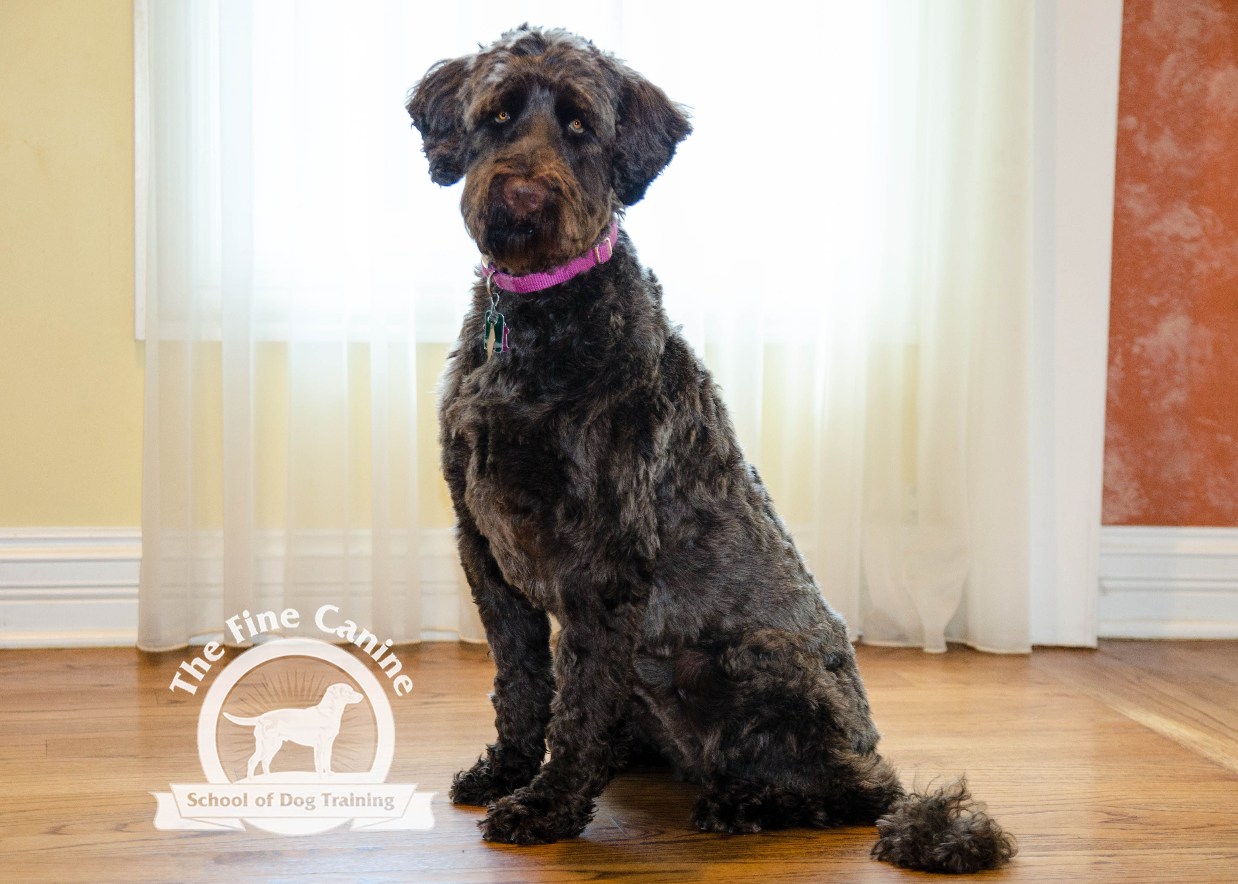 Fe The 2 Year Old Portugese Water Dog Portugese Water Dogs Water Dog Puppy Training School