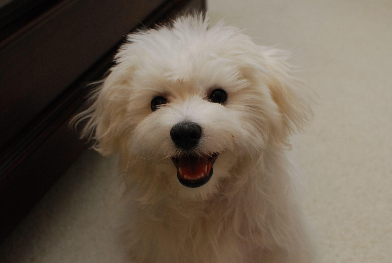 Happy Maltese Puppy Maltese Puppy