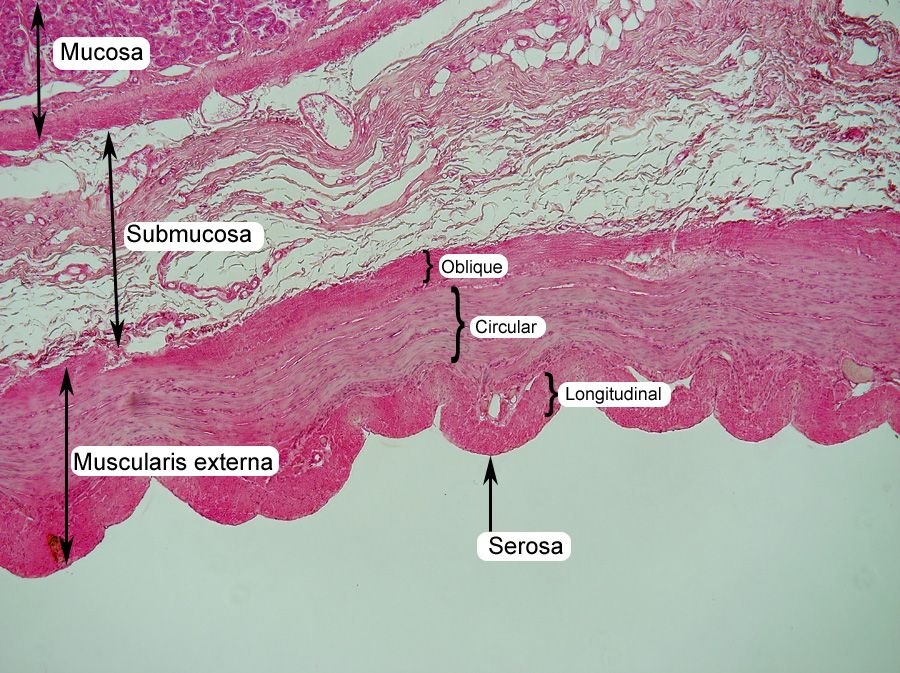 stomach histology labeled-- muscularis externa, mucosa and ...
