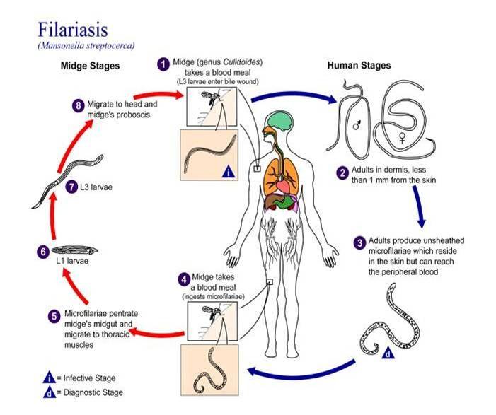 Filarial Worms Life Cycle Filariasis life...