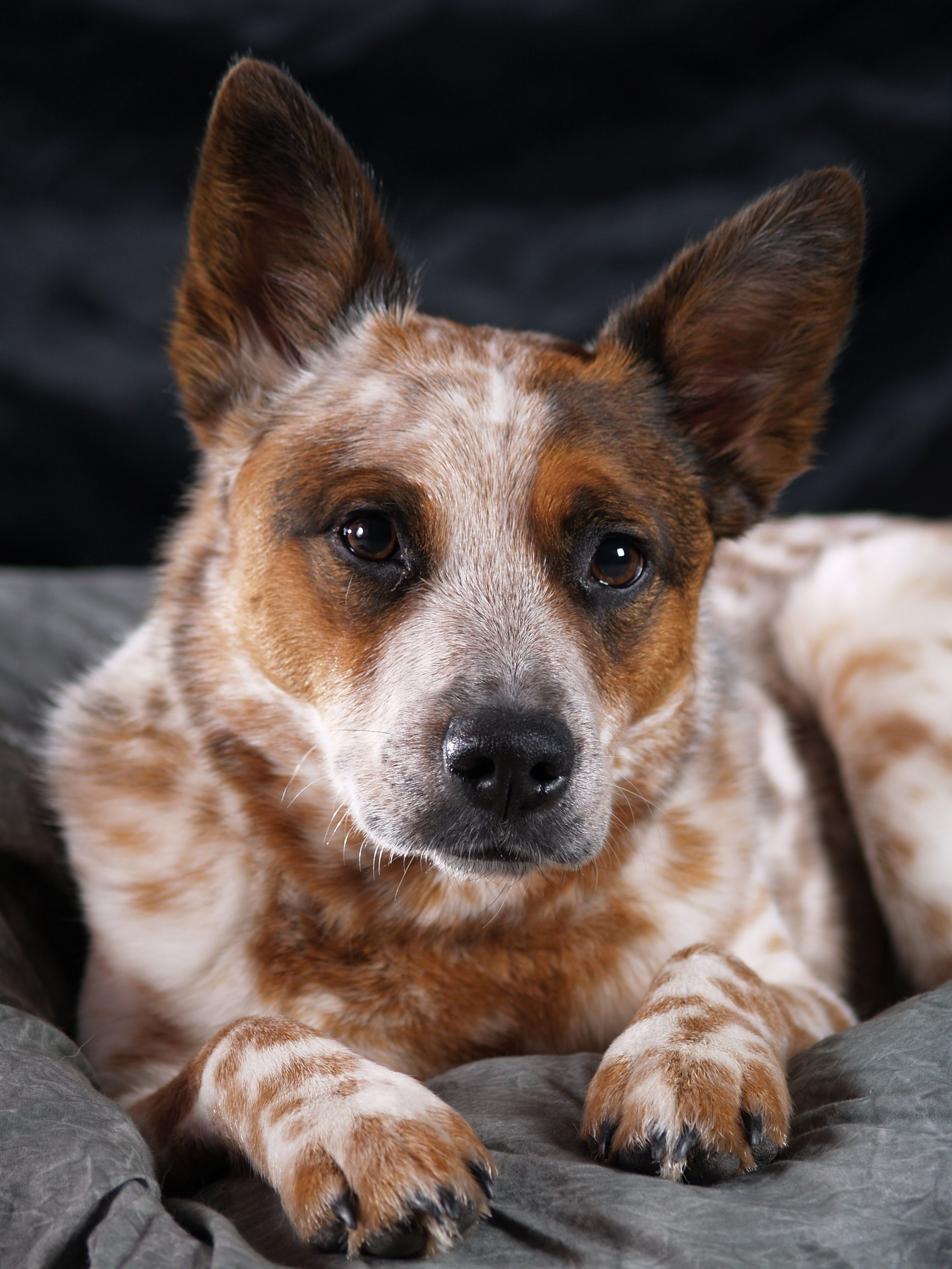Pin By Makenzie Brodowski On Acd Austrailian Cattle Dog Aussie Dogs Dogs