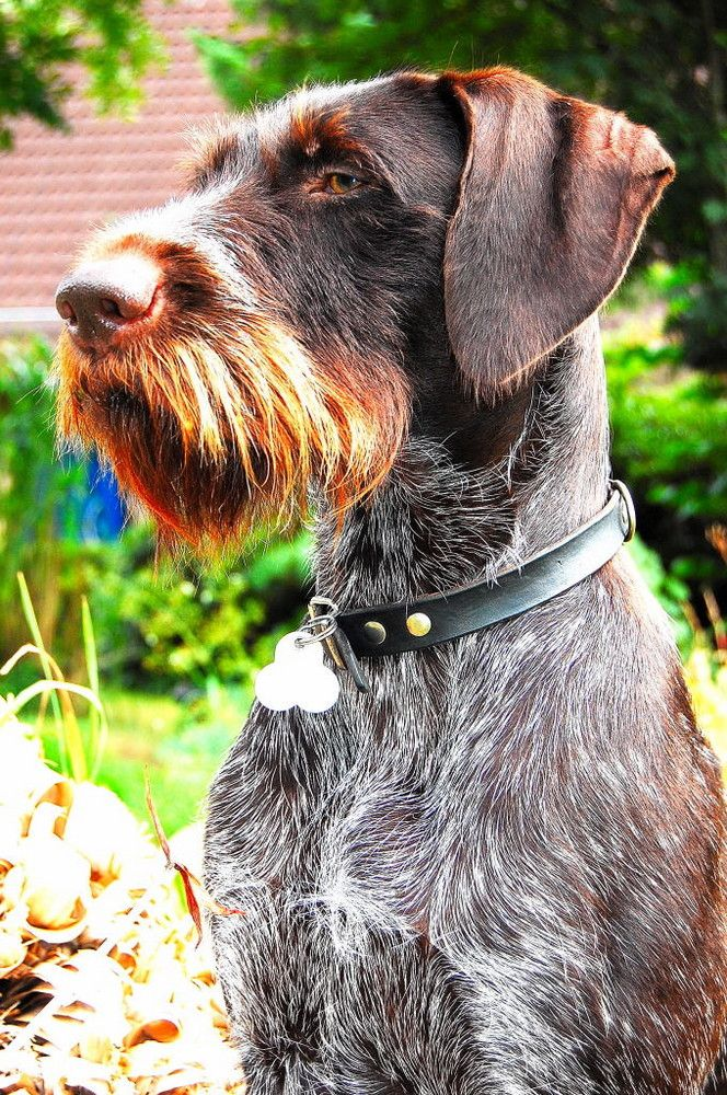 Deutsch Drahthaar Its Like A German Short Hair But With A Beard Lol Hybrid Dogs Irish Wolfhound Mix Irish Wolfhound Dogs