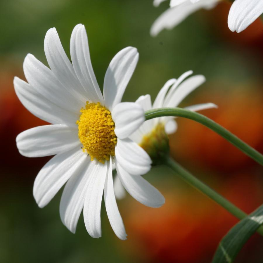 Daisy april birth flower usa natural beauty pinterest daisy april birth flower usa izmirmasajfo