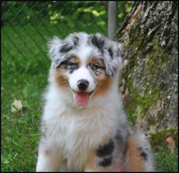 Australian Shepherd Breeders Canada S Guide To Dogs Australian Shepherds Cattle Dog Australian Cattle Dog Australian Shepherd