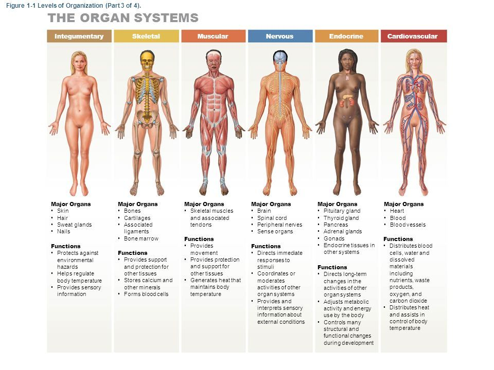 Image Result For Spot Light Levels Of Organization Organ Systems Organ System Body Systems System