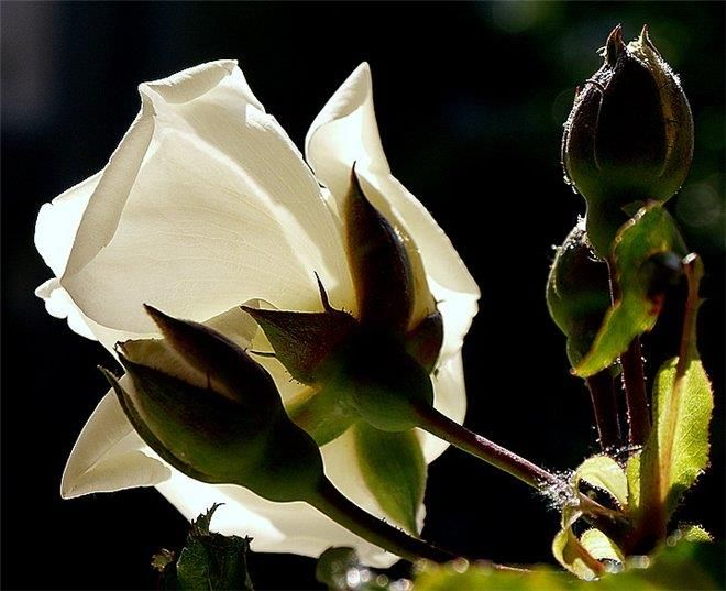 Про розу стихи для детей