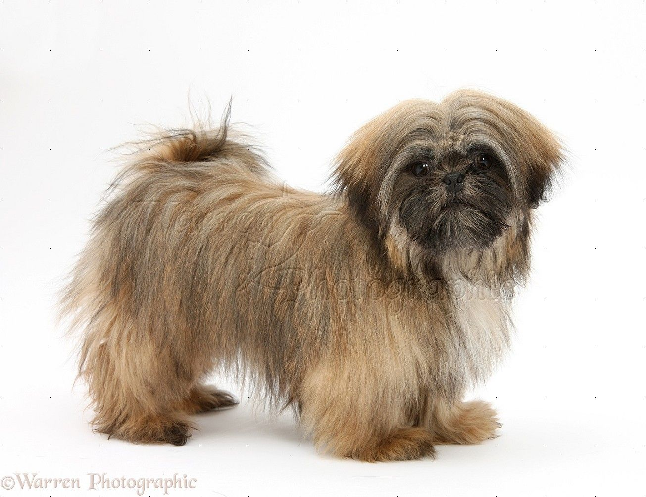 Adult Shih Tzu Pictures Google Search Brown Shih Tzu Shih Tzu