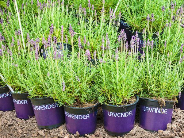 Lawenda Wlasciwosci Uprawa W Ogrodzie Ciecie Rozmnazanie Plants Garden Herbs