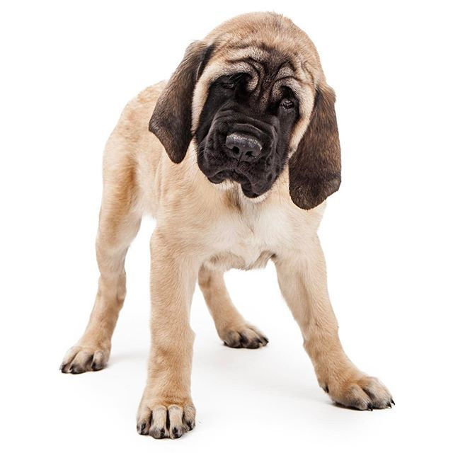 The head of the Mastiff is massive (a word that comes up often with this breed), and a wrinkled forehead accentuates an alert, kindly expression.