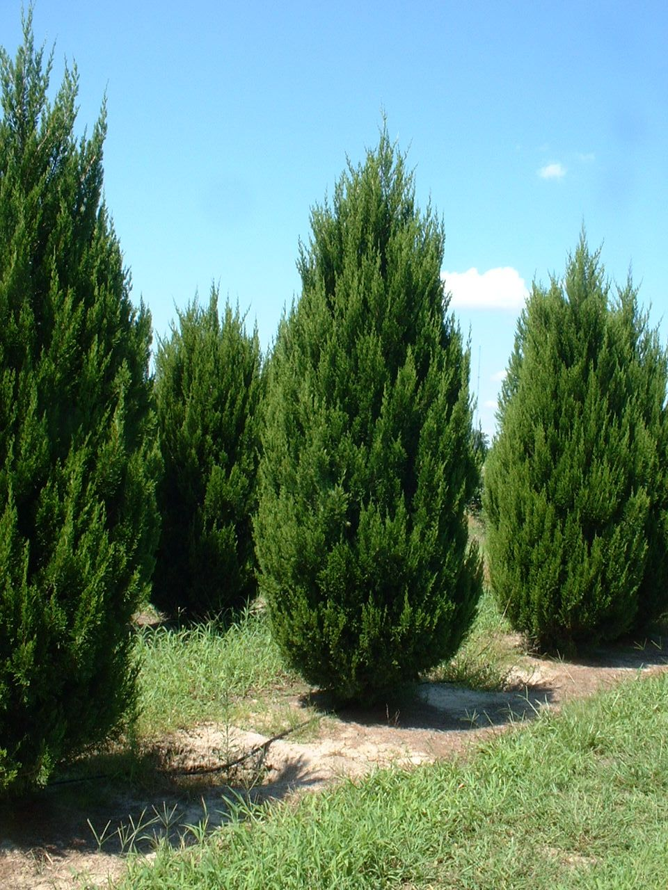 Spartan Juniper Evergreen Trees For Privacy Landscaping