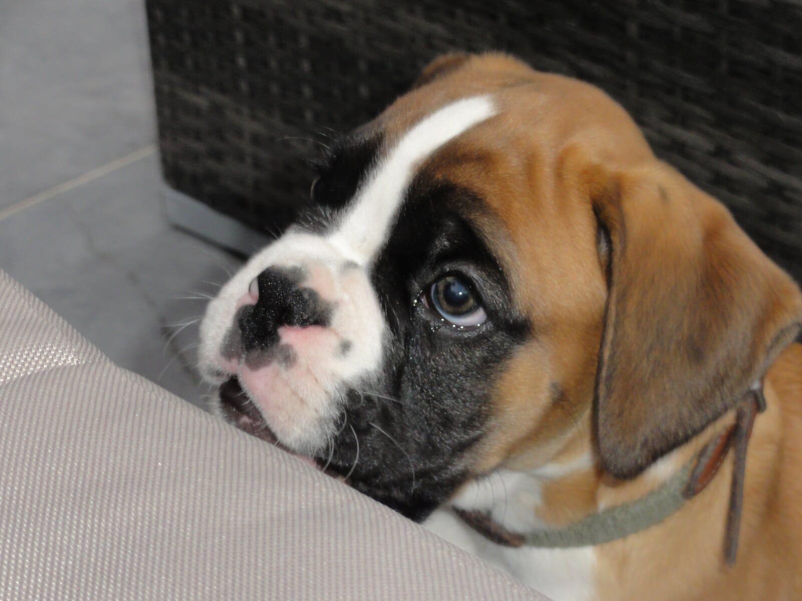 Boxer puppy Boxer puppy, Boxer puppies, Boxer dogs