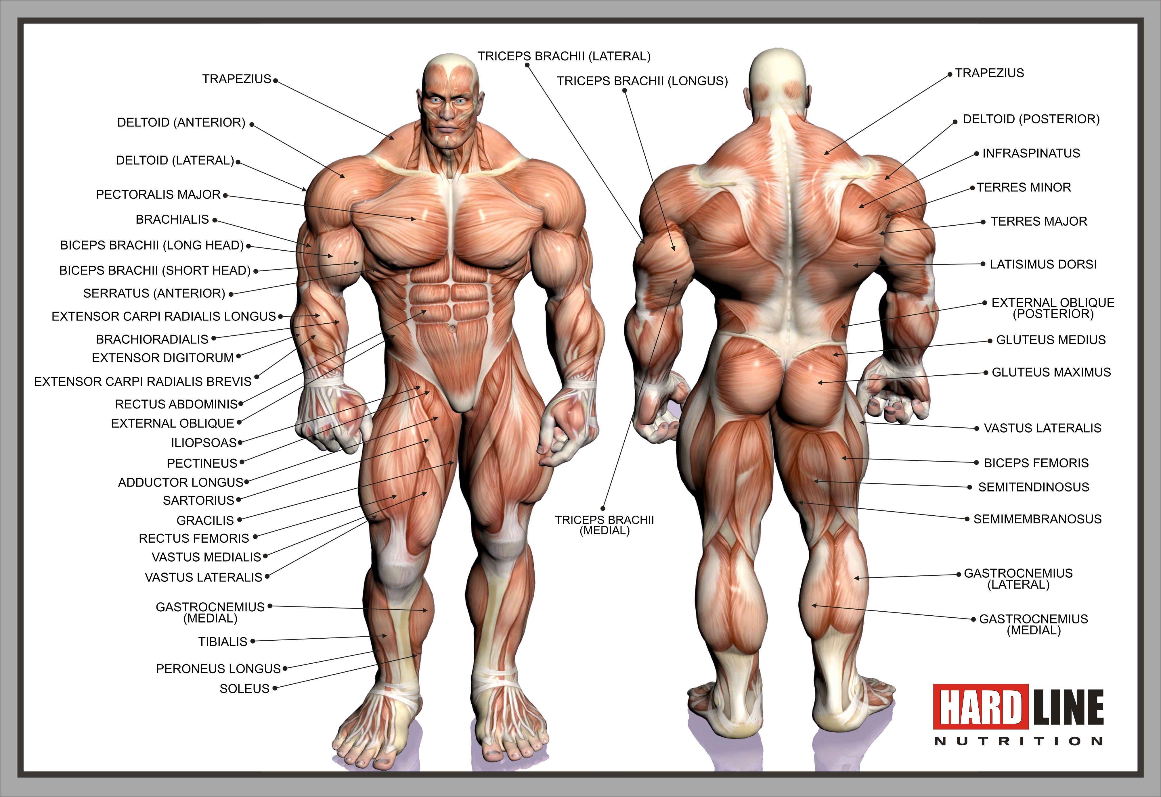 мышцы человека фото с описанием мышц бодибилдинг салем