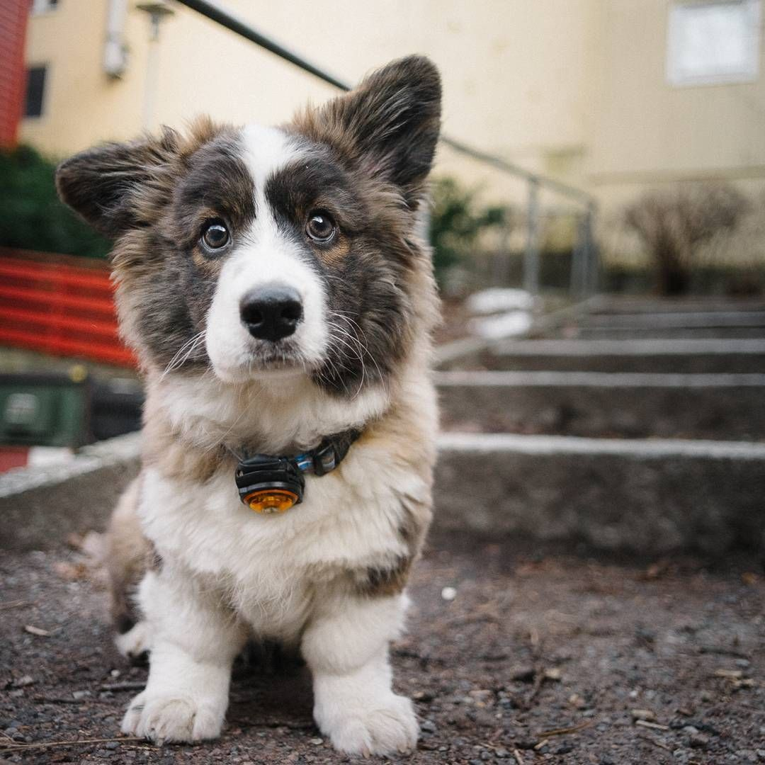 Onion The Fluffy Cardigan From Norway Corgi Wuv Pinterest