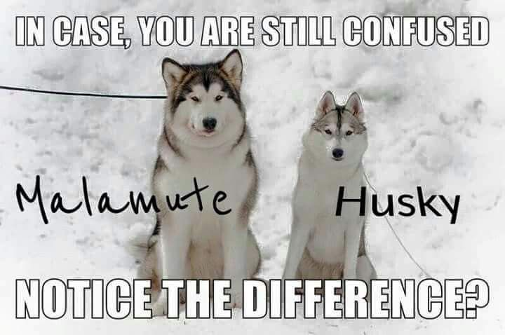 Looking For A Job With Animals Malamute Husky Husky Dogs Malamute