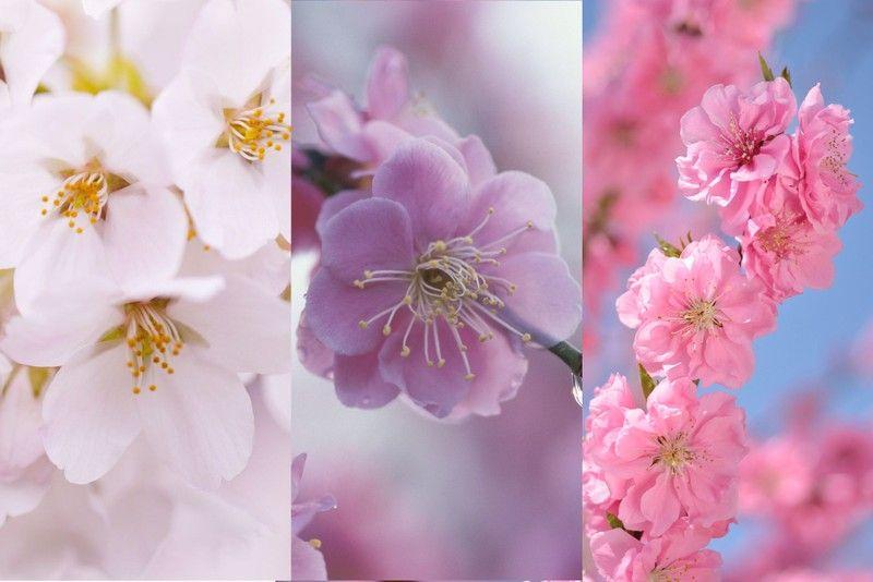 違い 梅 桜