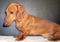 Learn More About Ponderosa Dachshund Breeders Dachshund
