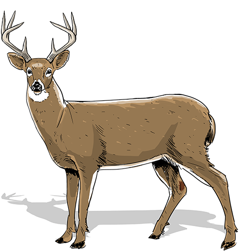 Don't judge a buck by its antlers. How to age your buck