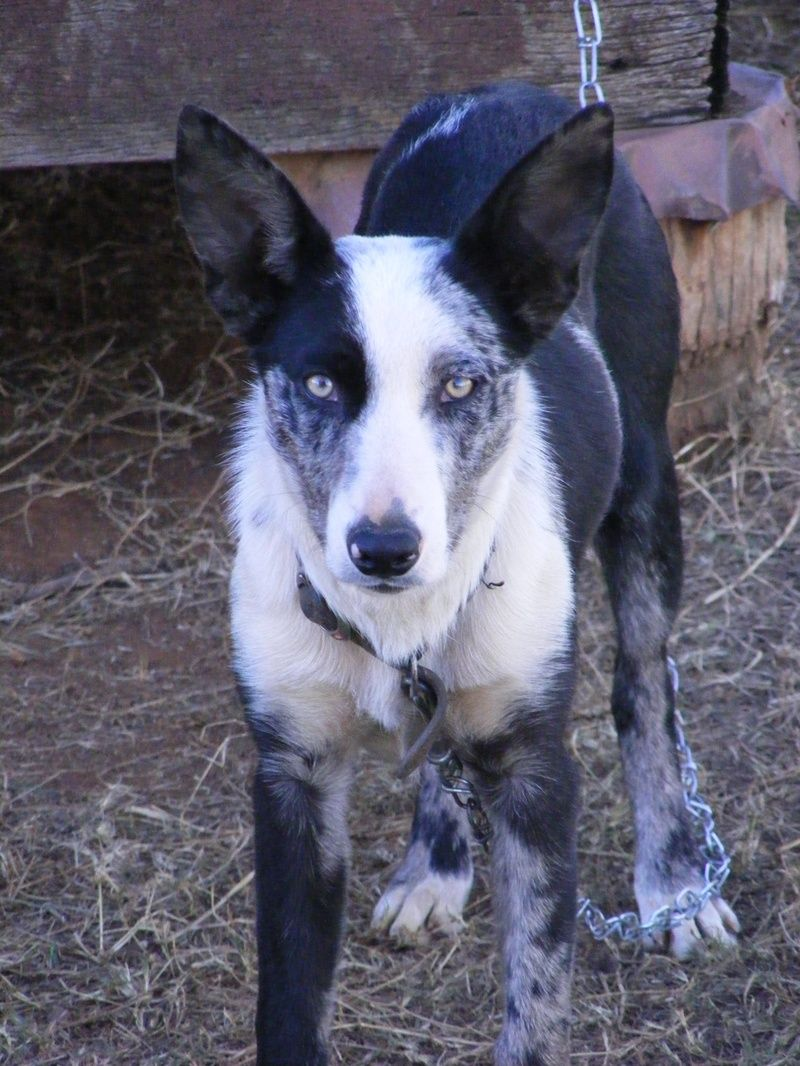 Australian Koolie Pictures Dog Breeds Picture Herder