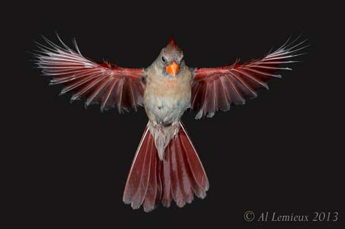 Female Cardinals Birds Pictures Google Search Red Bird Tattoos