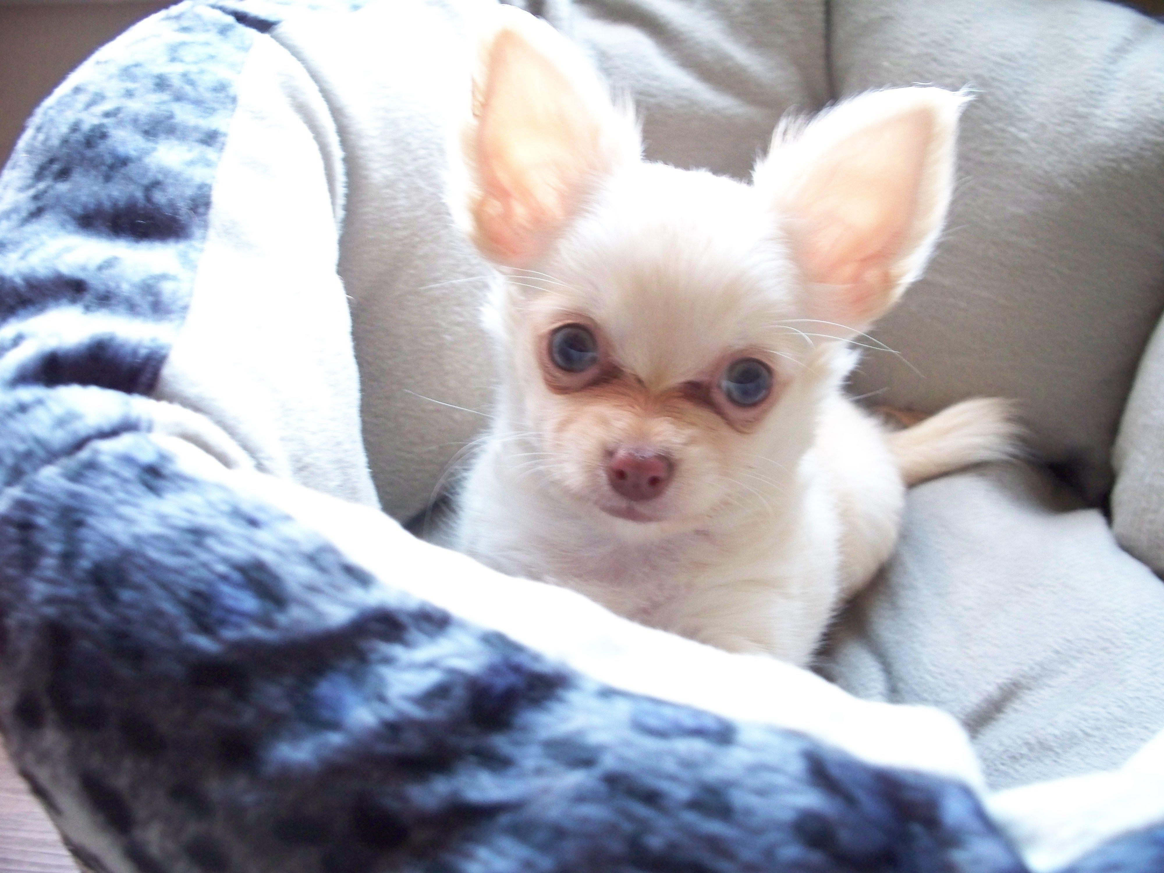 mia our long hair chihuahua when she was a puppy. how cute
