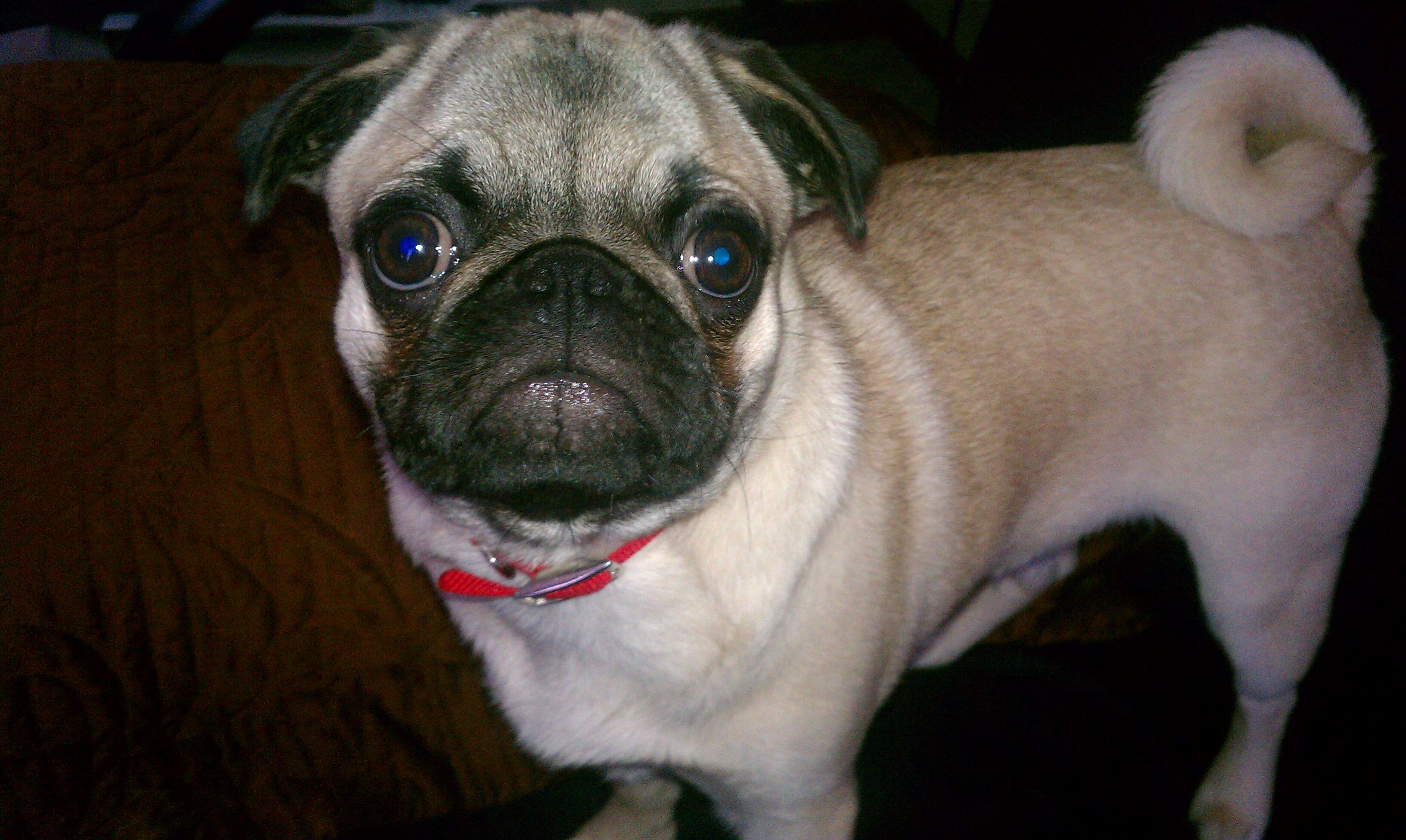 I Want To Have A Brown Pug Mine S Black Cute Animals Pugs