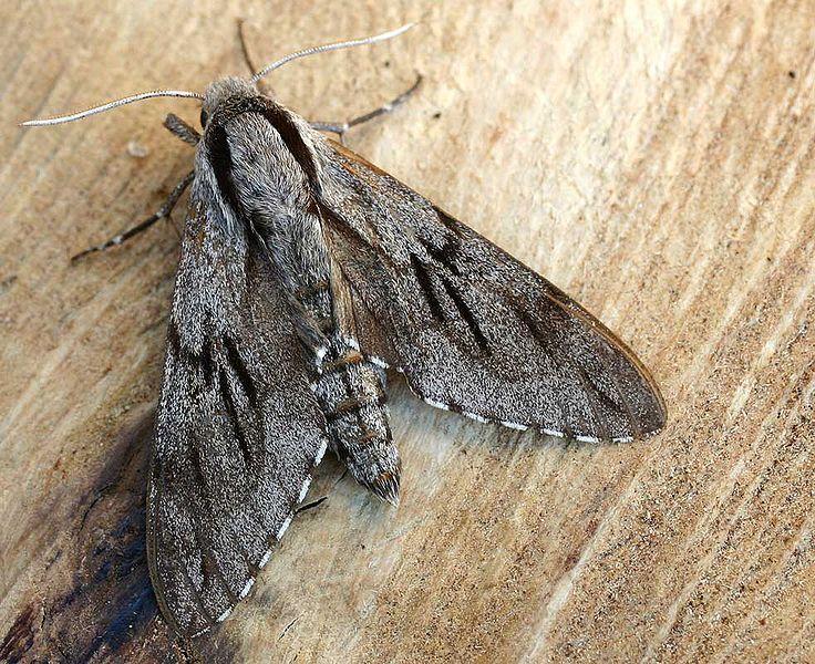 Nachtfalter Kiefernschwarmer Mit Bildern Nachtfalter Falter Schmetterling