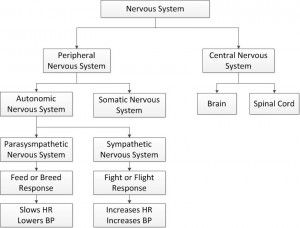 Divisions of the nervous system study pinterest nervous system divisions of the nervous system ccuart Image collections