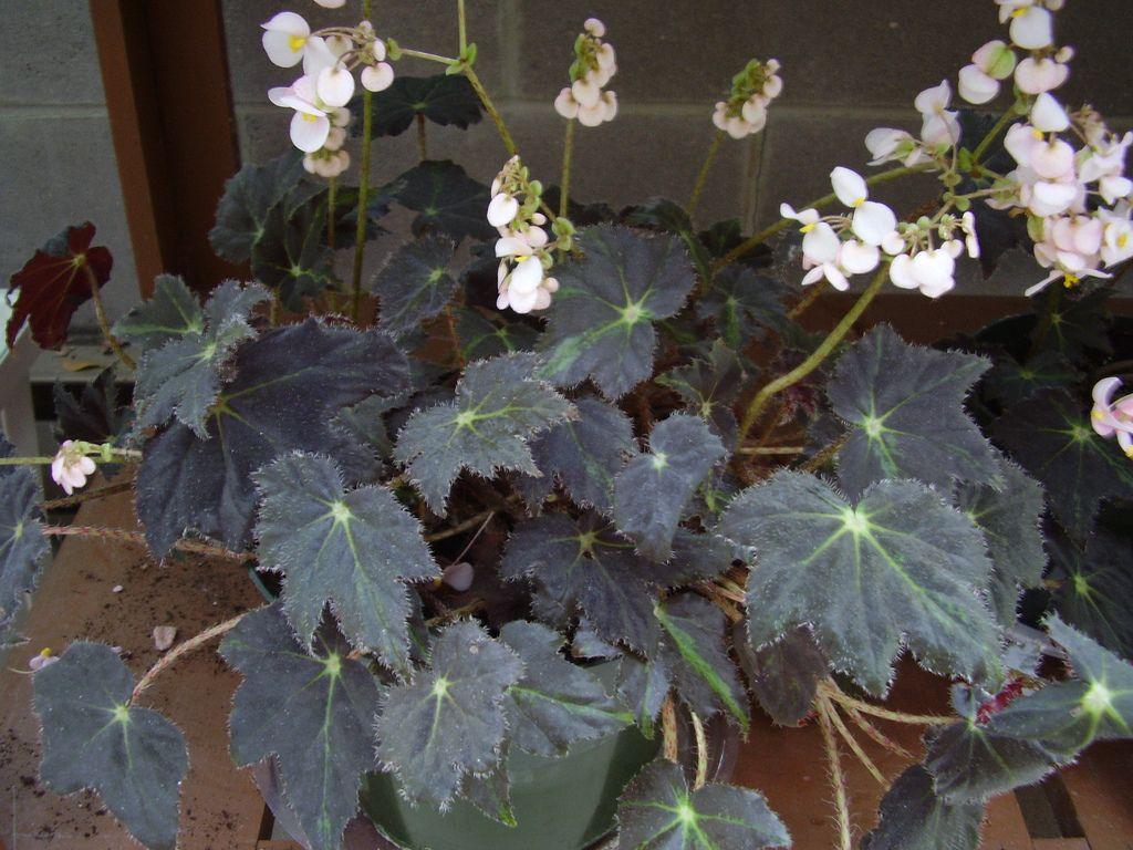 Begonia Black Velvet