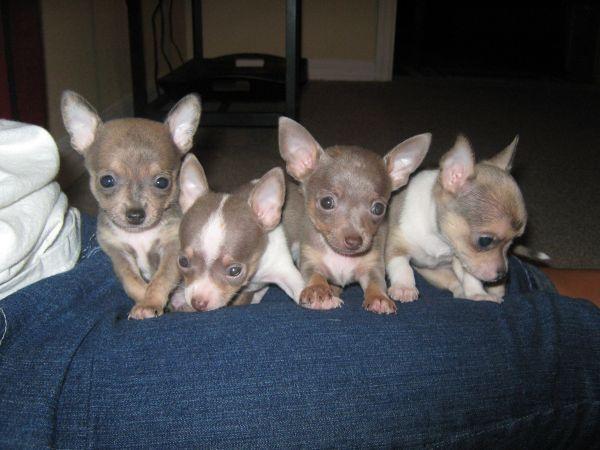 Cute CKC Chihuahua Puppies (Teacups) | Teacup chihuahua ...