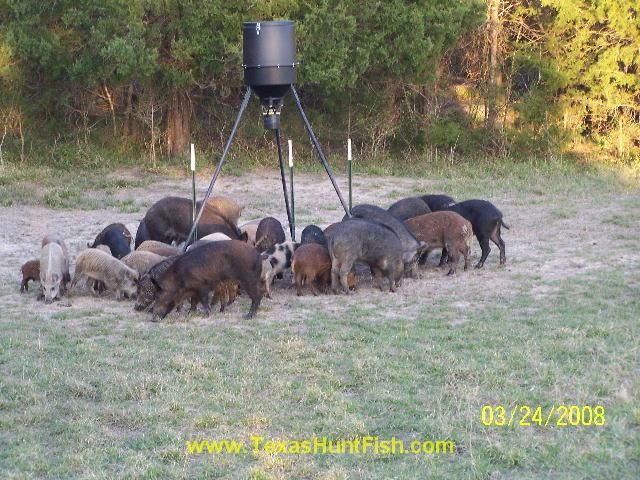 Hog Wild Hog Hunting Pig Hunting Hunting Tips