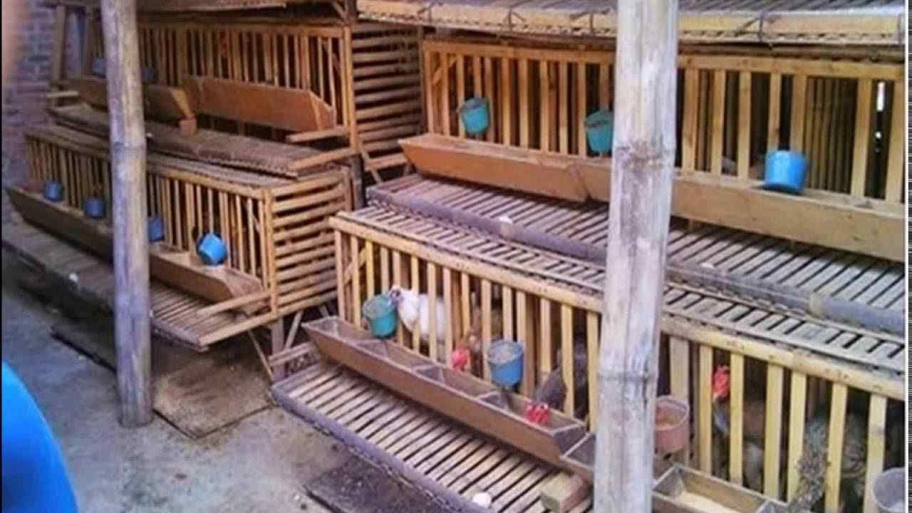 Desain Kandang Ayam Petelur Dari Bambu - Kandang 1