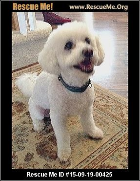 SCOOBY (male) Bichon Frise Age: Senior Compatibility: Good