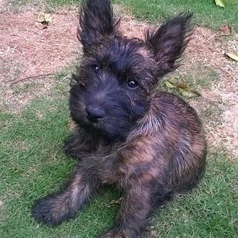 Cairn Terrier Scottish Terrier Mix Wire Fox Terrier Fox Terrier