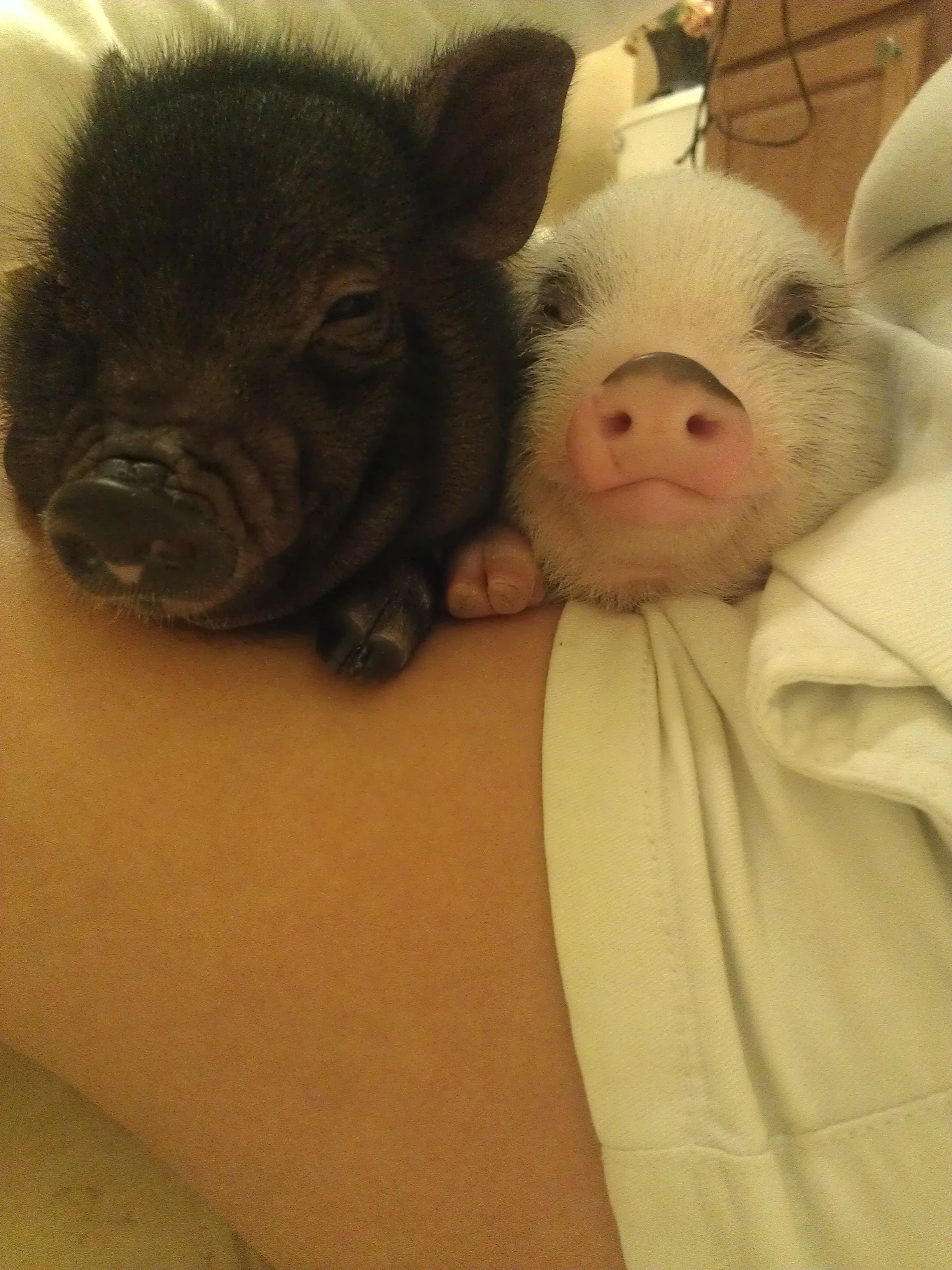 Madeline And Mason Mini Pig Juliana Pig Piglets