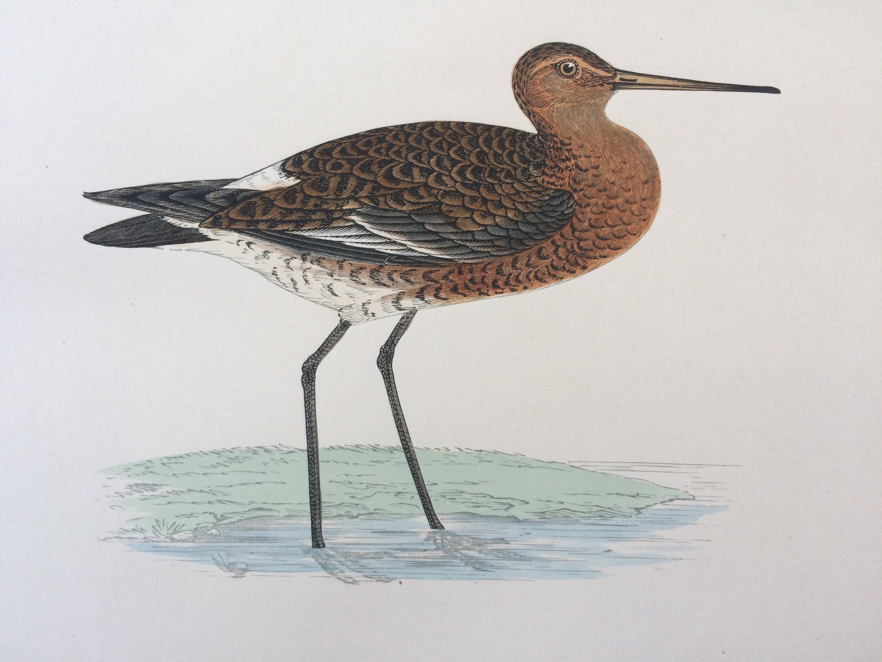 bb60e359afc 1903 Black-Tailed Godwit Original Antique Matted Hand-Coloured Engraving -  Ornithology - Bird