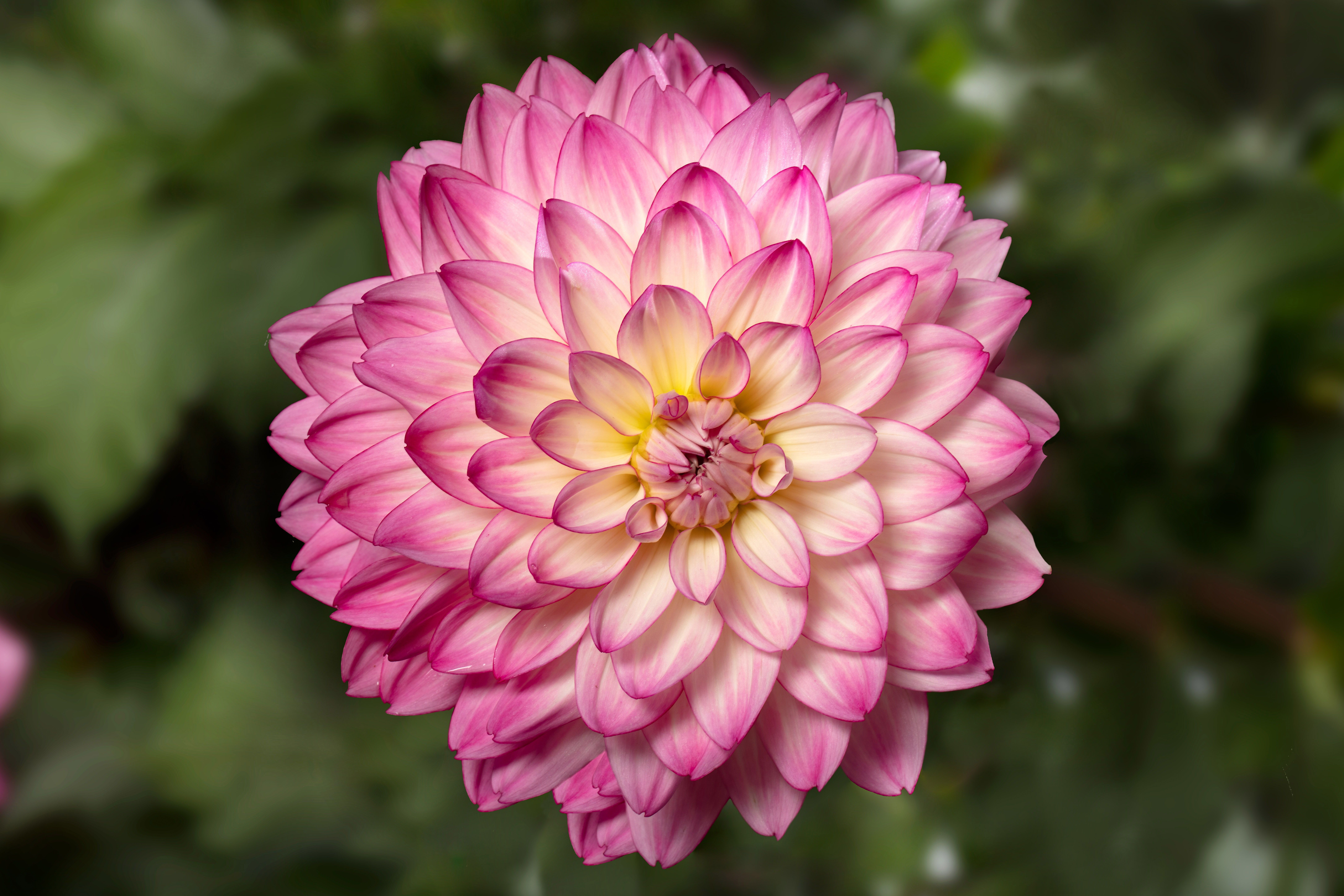 2019 Year Of The Dahlia National Garden Bureau How To Grow Dahlias In 2021 Growing Dahlias Bulb Flowers Amazing Flowers