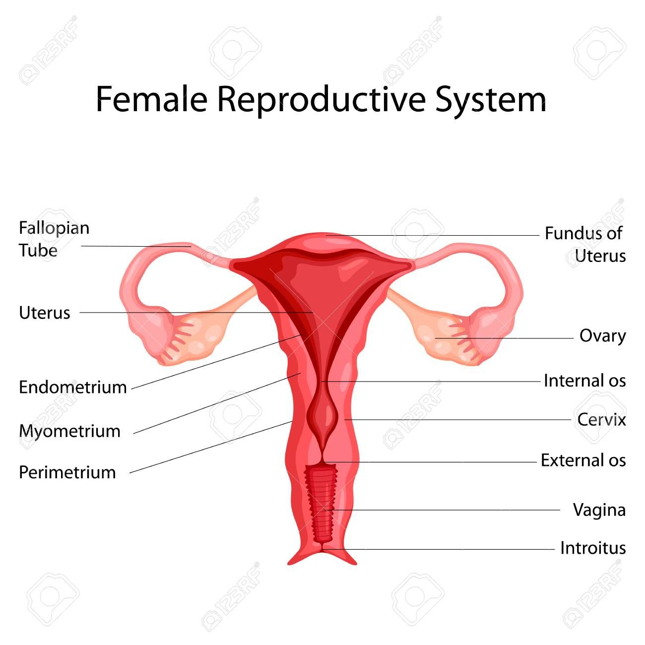 image of female reproductive system diagram image of female reproductive system diagram education chart of [ 1300 x 1300 Pixel ]