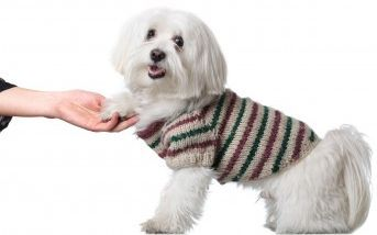 Teach Your Maltese Puppy Tricks Dog Hacks Puppies Maltese Dogs