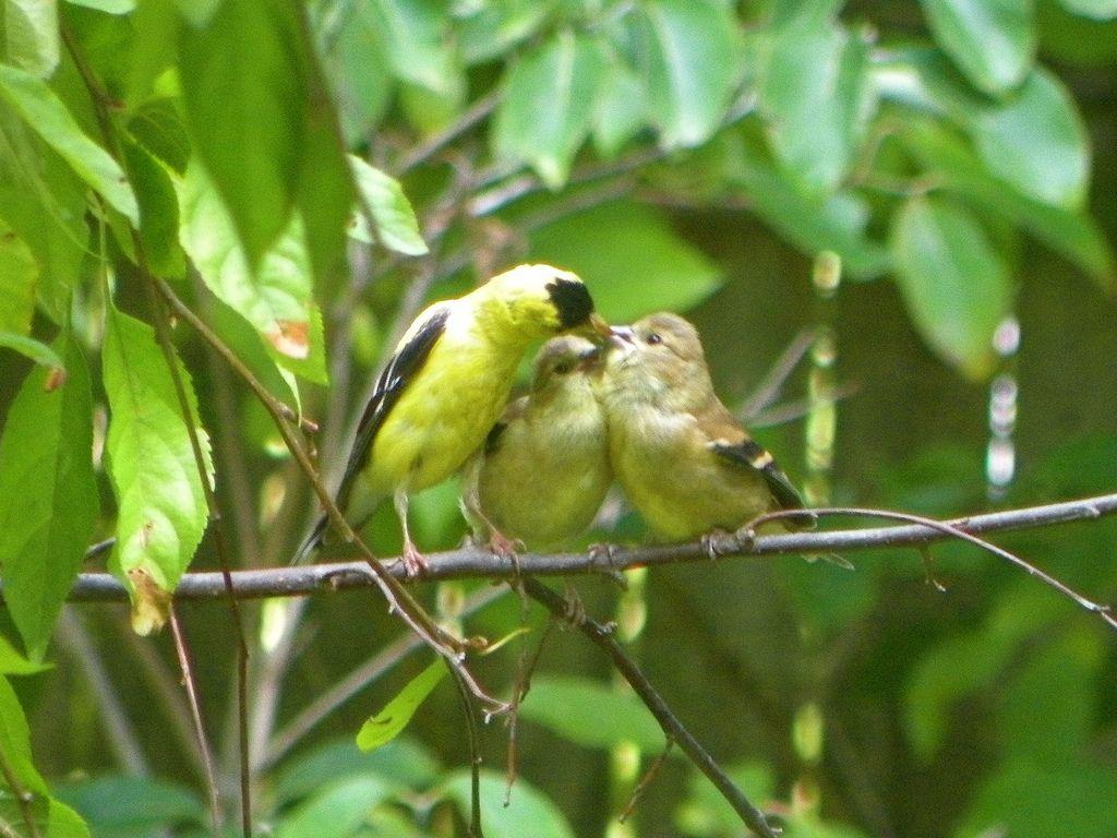 feeding baby goldfinch planet s