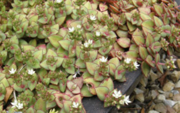 Photo of Crassula pellucida subsp. marginalis | World
