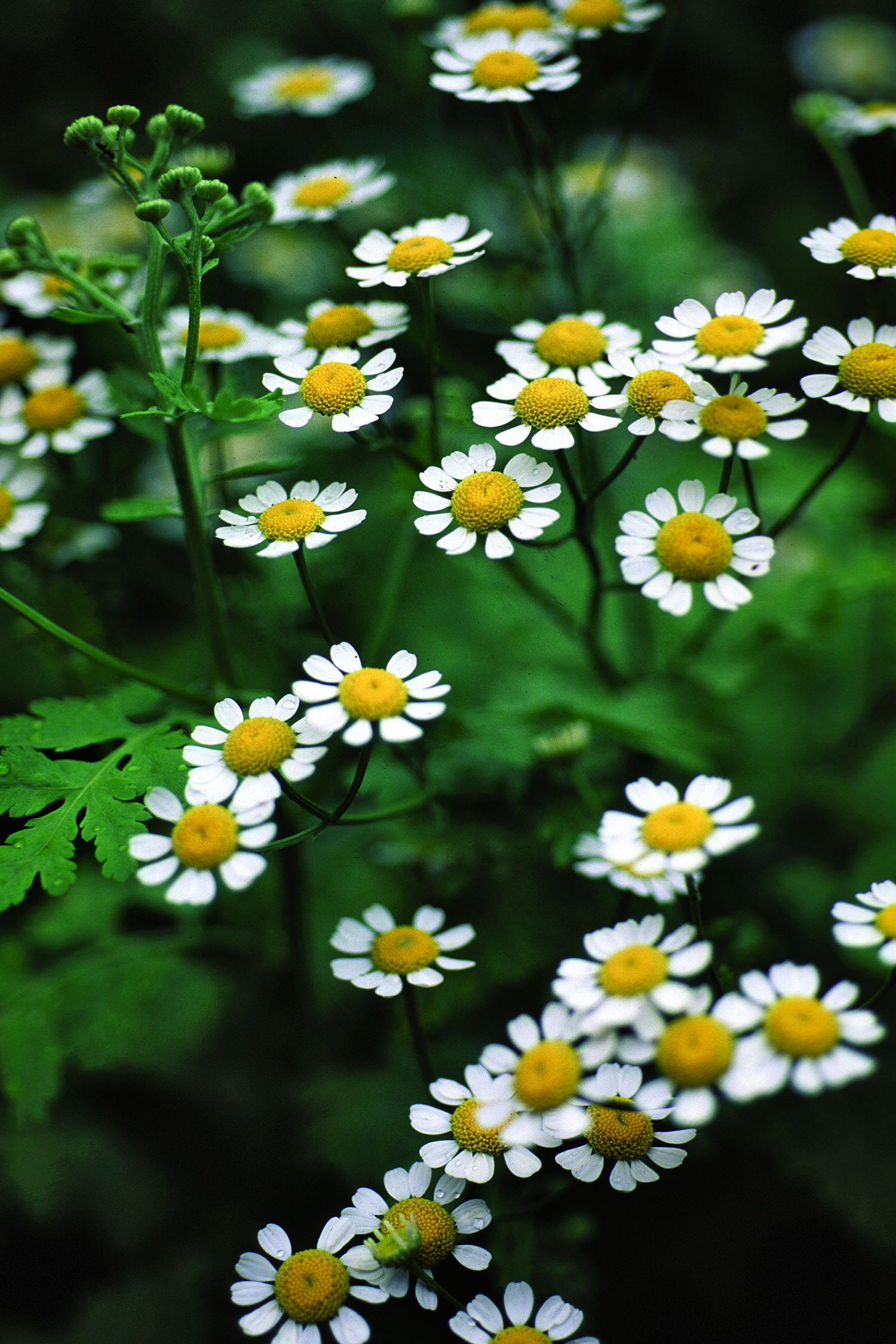 Information About Feverfew Studied For Migraine Headaches And Rheumatoid Arthritis From The U S Government S Nationa Feverfew Feverfew Plant Medicinal Herbs